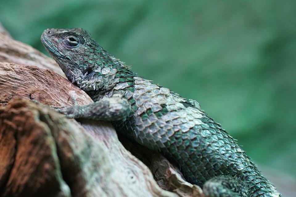 Malachite Barbed Iguana, Iguana, Scale, Reptile, Nature