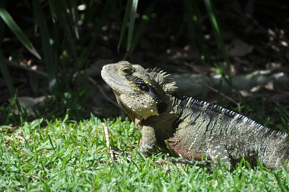 Lizard, Reptile, Creature, Insect Eater, Animal World