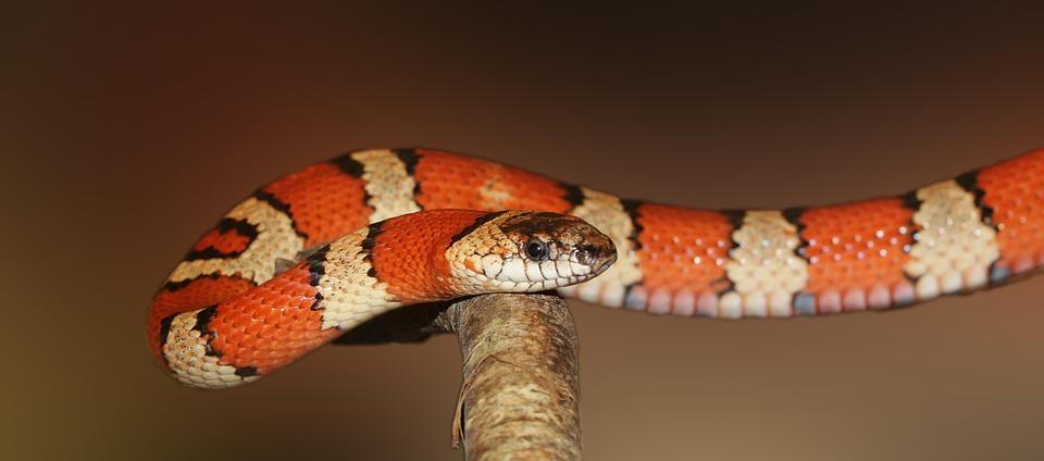 Kingsnake, Reptile, Animal, Lampropeltis, Snake