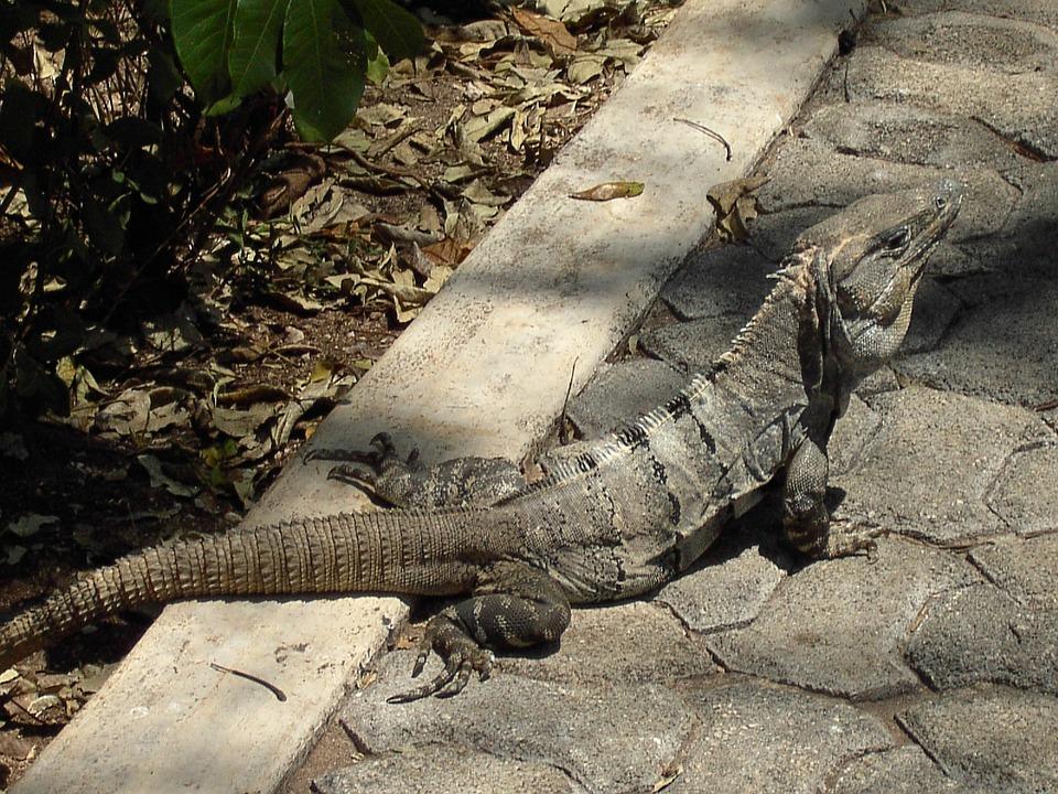 Reptile, Iguana, Lizard, Animal, Creature, Scaly