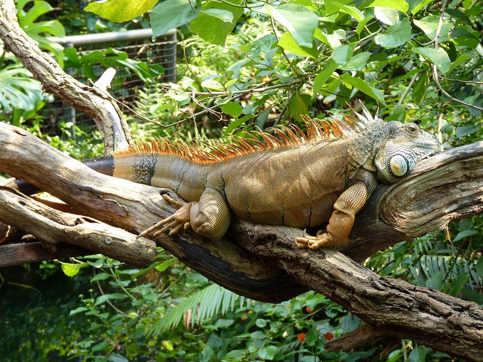 Lizard, Iguana, Reptile, Rest, Lazing Around, Lazy