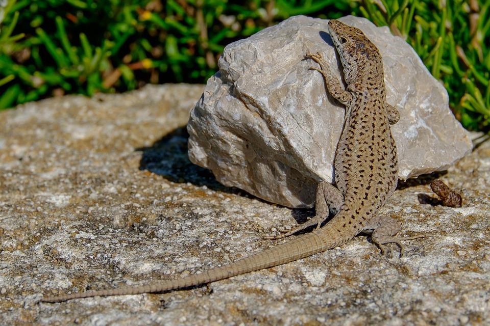 Lizard, Stone, Reptile, Animal, Wildlife, Fauna, Nature