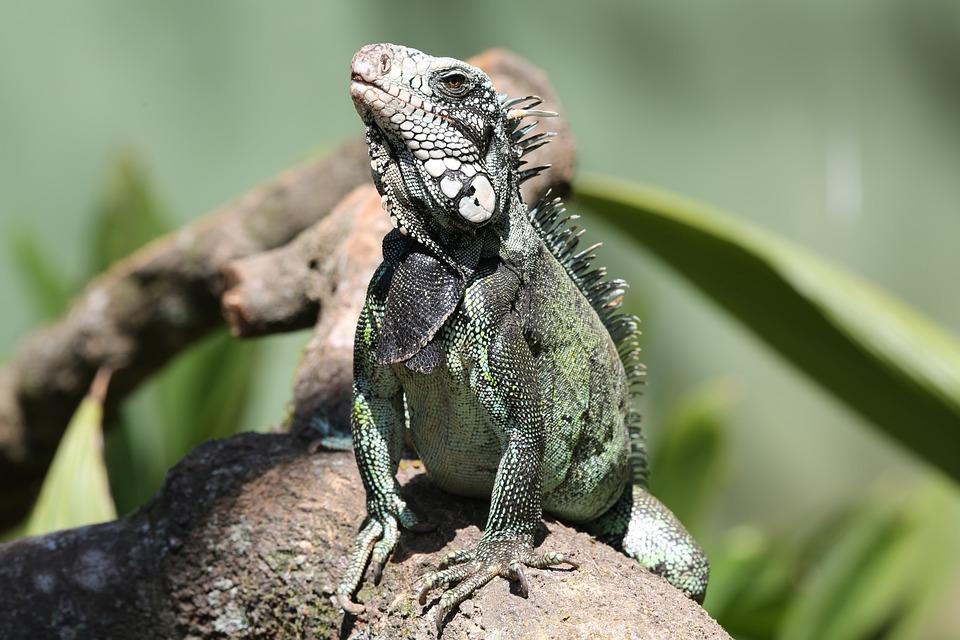 Iguana, Reptile, In Dry Twig, Lizard, Looking, Wild