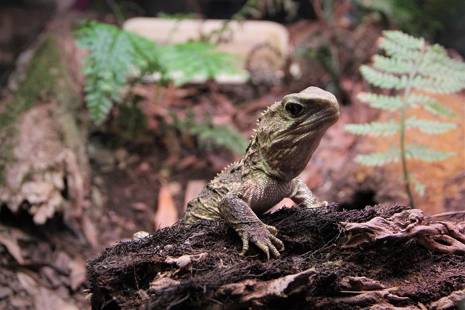Tuatara, Reptile, Scales, Lizard, Old, Nz, New, Zealand