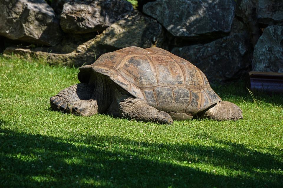 Giant Tortoise, Turtle, Reptile, Panzer, Armored