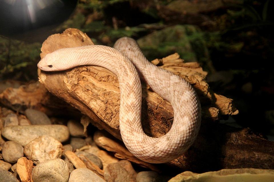 Pine Snake, Pituophis Melanoleucus, Snake, Reptile