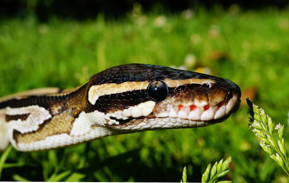 Snake, Python, Mojave, Wilderness, Reptile, Scale