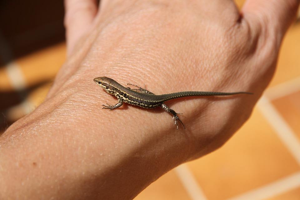 Close Up, Lizard, Lizzard, Lézardeau, Reptile, Reptiles