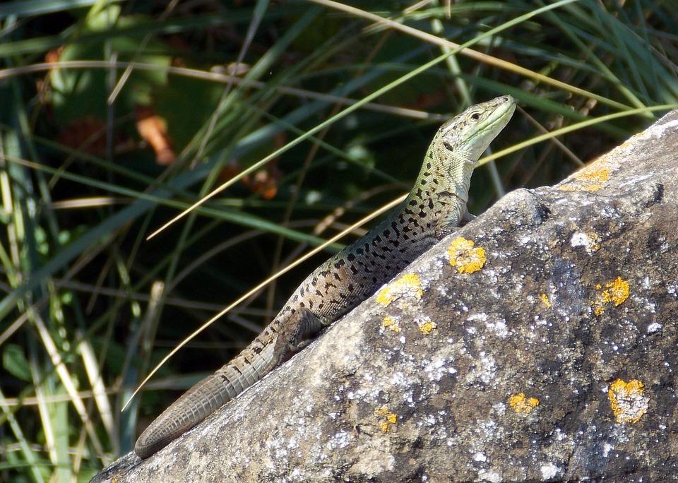 Lizard, Reptile, Green, Animal, Rock, Grass, Nature