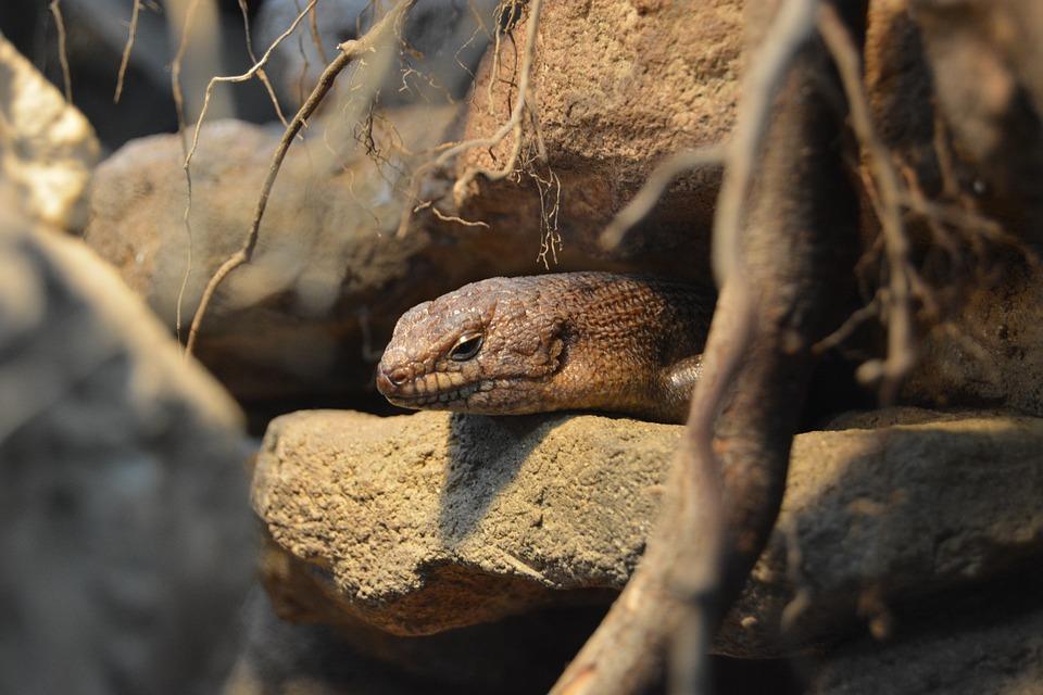 Reptile, Rock, Schuppenkriechtier, Scaly, Brown