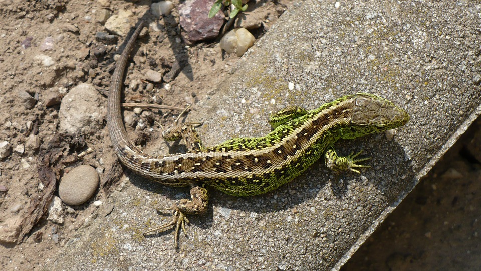 Sand Lizard, Lizard, Cold Blooded Animals, Reptile