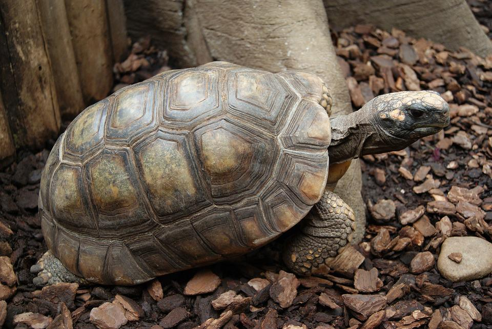 Turtle, Reptile, Nature, Reptiles, Tortoise, Shield