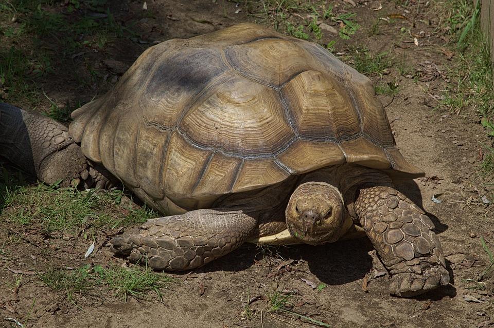 Tortoise, Zoo, Giant, Reptile, Creature, Animal, Slowly