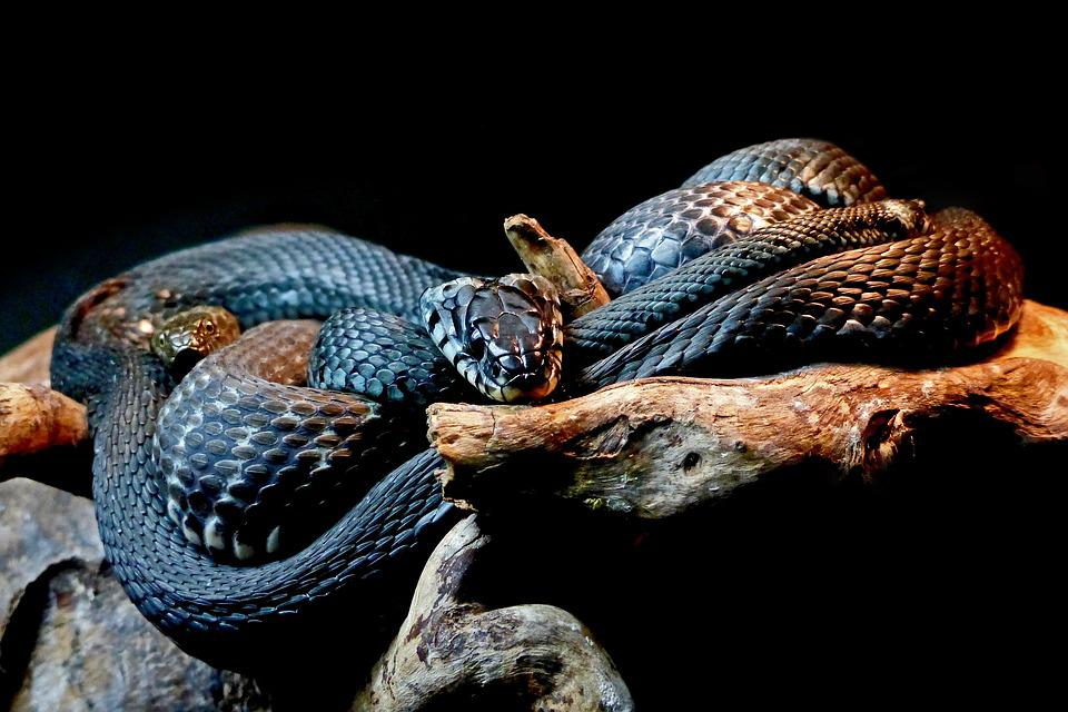 Snakes, Black Snakes, Animal, Reptile