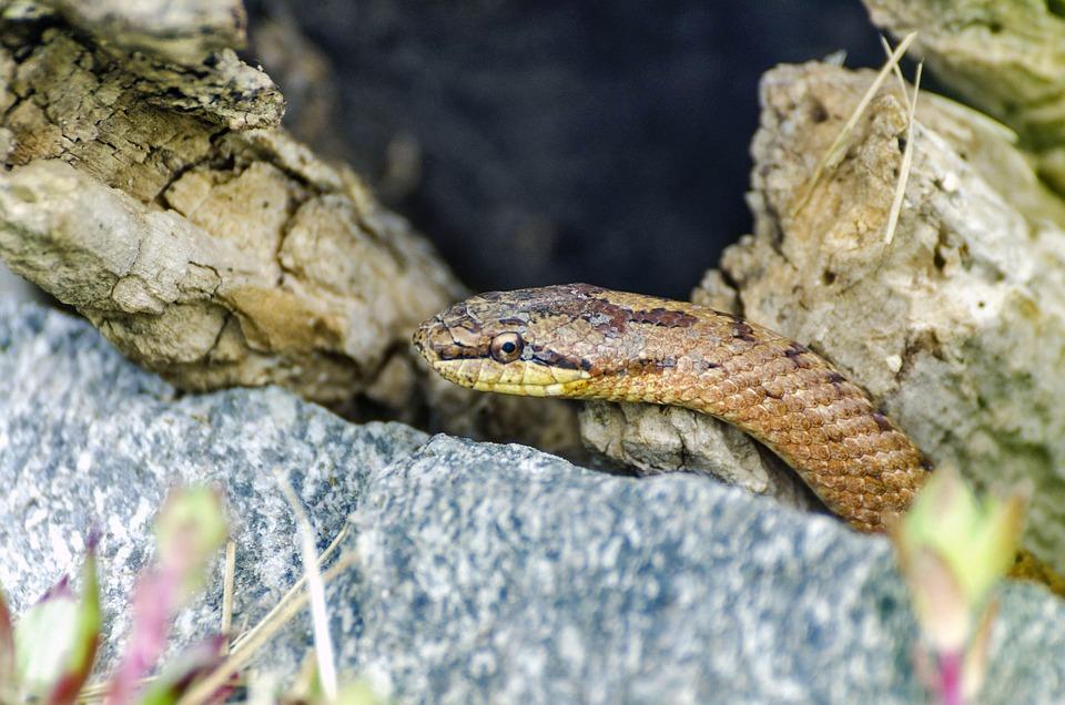 Free Photo Reptile Terrarium Snake Snakes Coronella Austriaca Max
