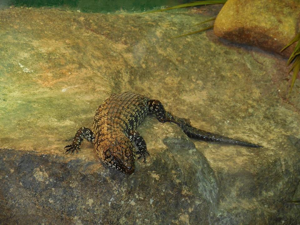 Lizard, Terrestrial Lizard, Black Lizard, Reptile