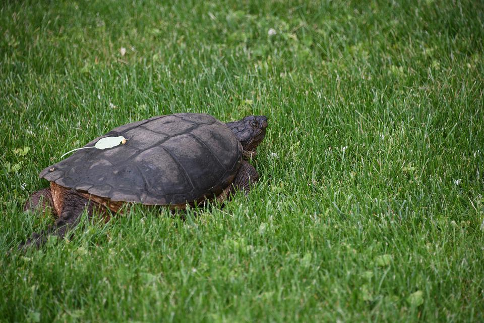 Turtle, Snapping, Reptile, Shell, Wildlife, Indiana