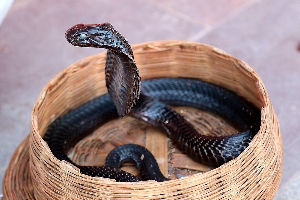 Cobra, Basket, Snake, Scales, Reptile, Wild Animal