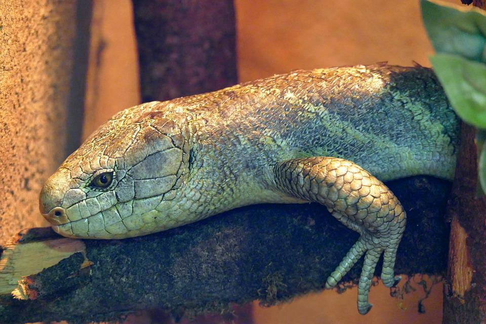 Skink, Reptile, Lizard, Wildlife, Animal, Wild, Nature