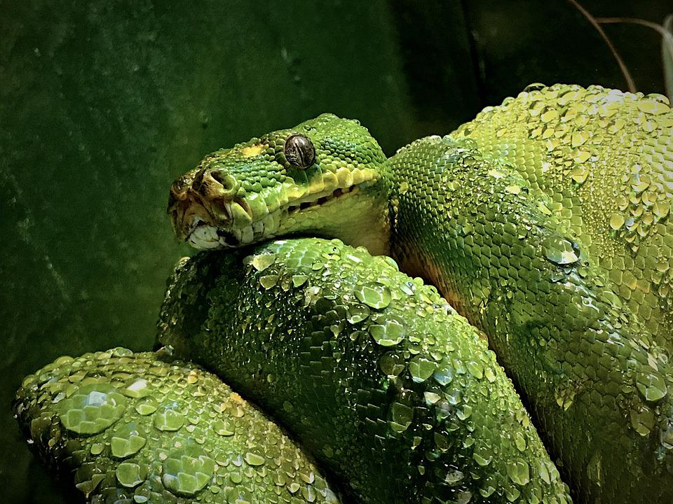 Green, Tree, Snake, Poisonous, Reptile, Wildlife