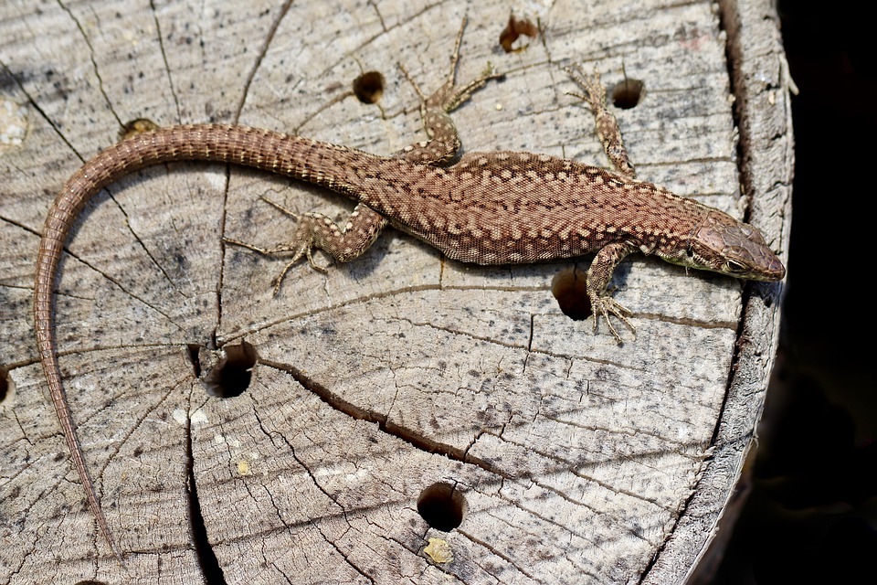Lizard, Reptile, Wood, Wooden, Log, Wildlife, Animal