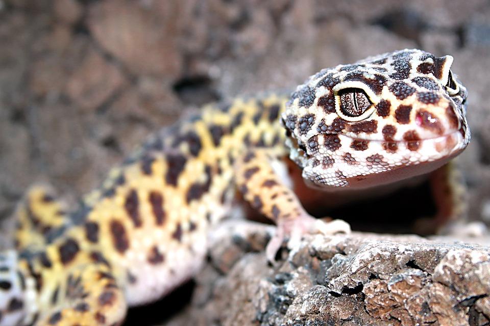 Reptiles, Animals, Lizards