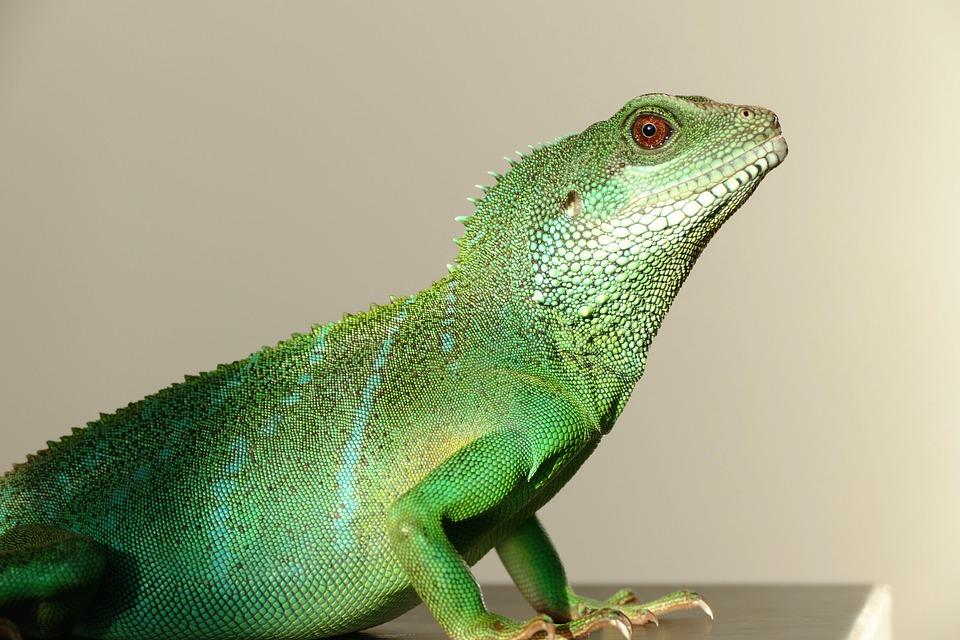 Chinese Water Dragon, Reptiles, Lizard, Dragon, Water