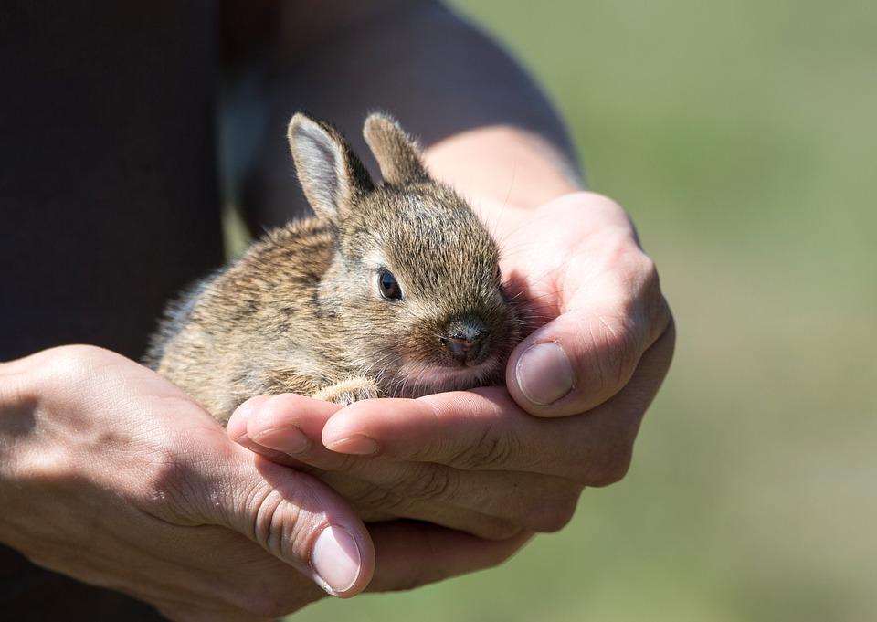 Rabbit, Hare, Cub, Rescue, Small, Animal, Mammal, Pet