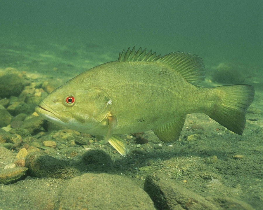 Bass, Smallmouth, Fish, Underwater, Resolution, High