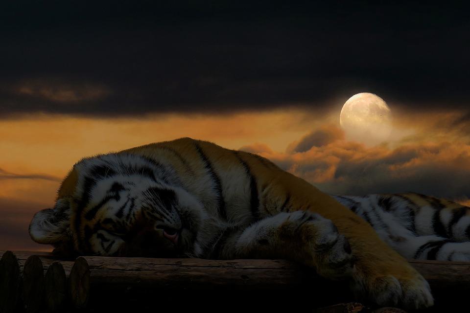 Tiger, Sleep, Rest, Cat, Big Cat, Good Night