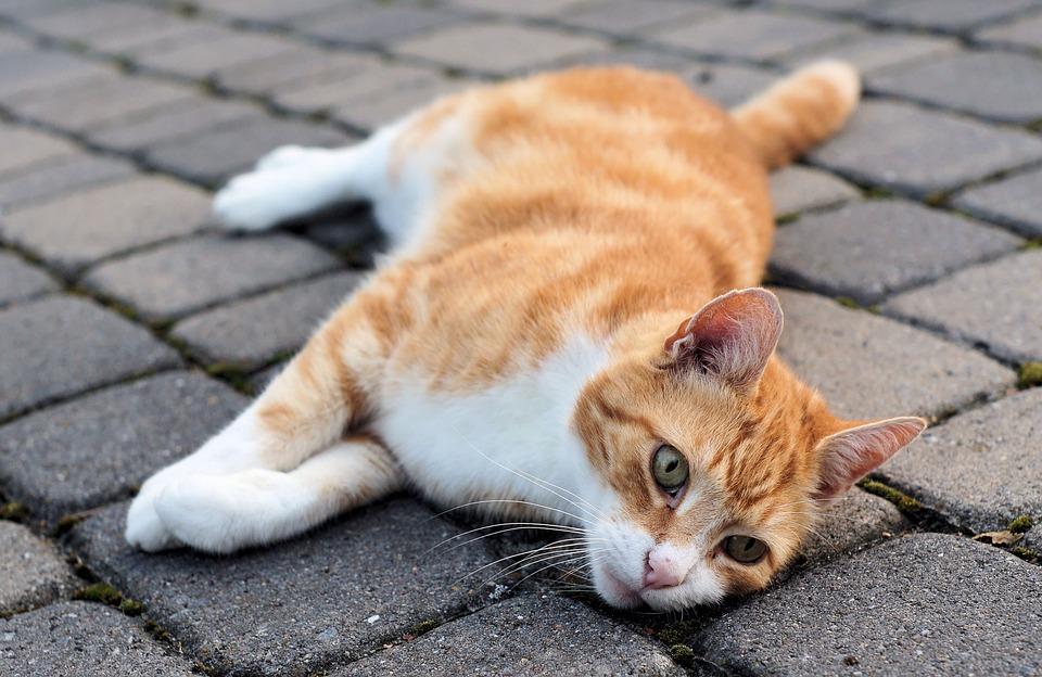 Cat, Domestic Cat, Cat Face, Tired, Fur, Cute, Rest