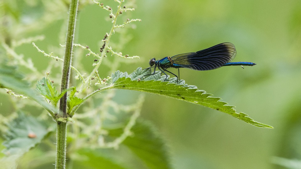Dragonfly, Nettle, Plant, Green, Insect, Sting, Rest