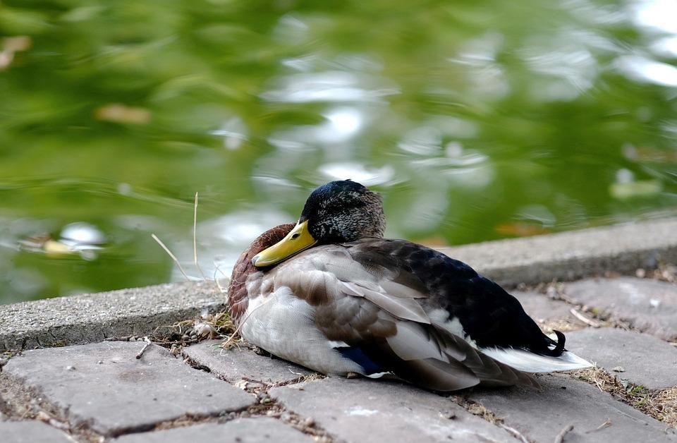 Duck, Mallard, Drake, Poultry, Rest