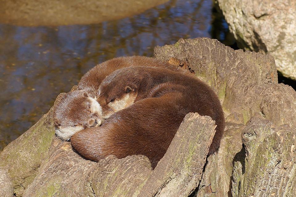 Otter, Swimmer, Water, Fur, Land Predator, Marten, Rest