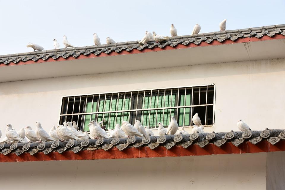 Pigeons, Animals, Houses, Windows, Rest