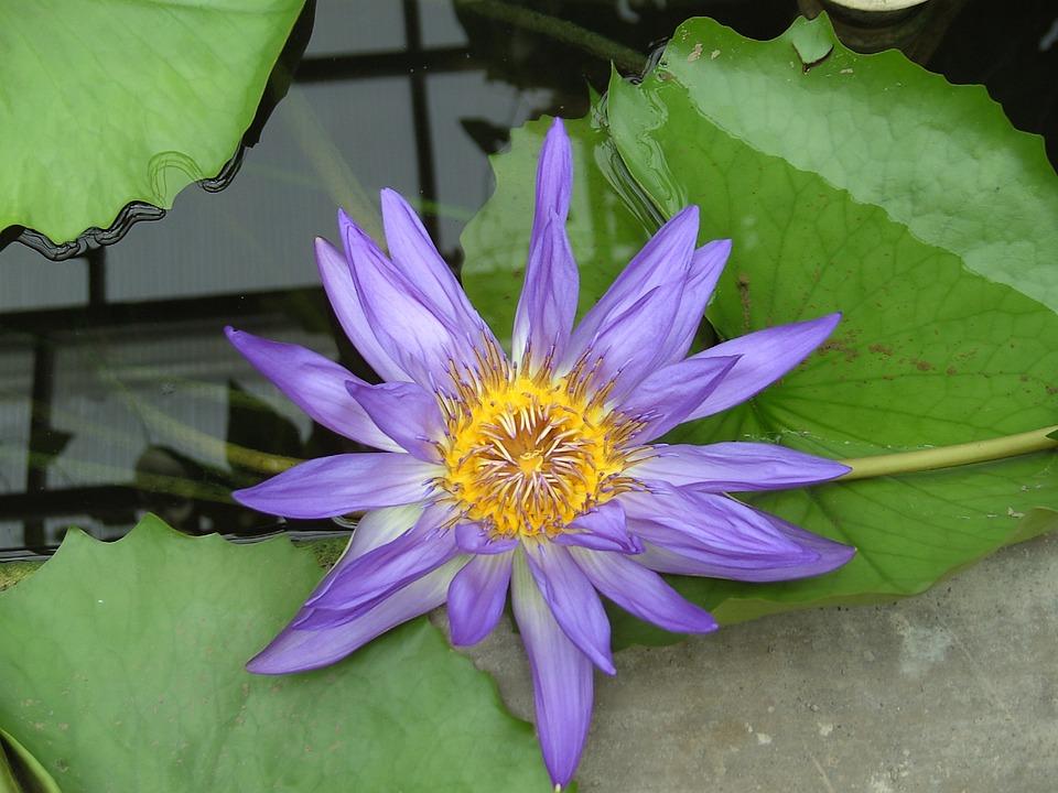 Lotus Flower, Flower, Rest