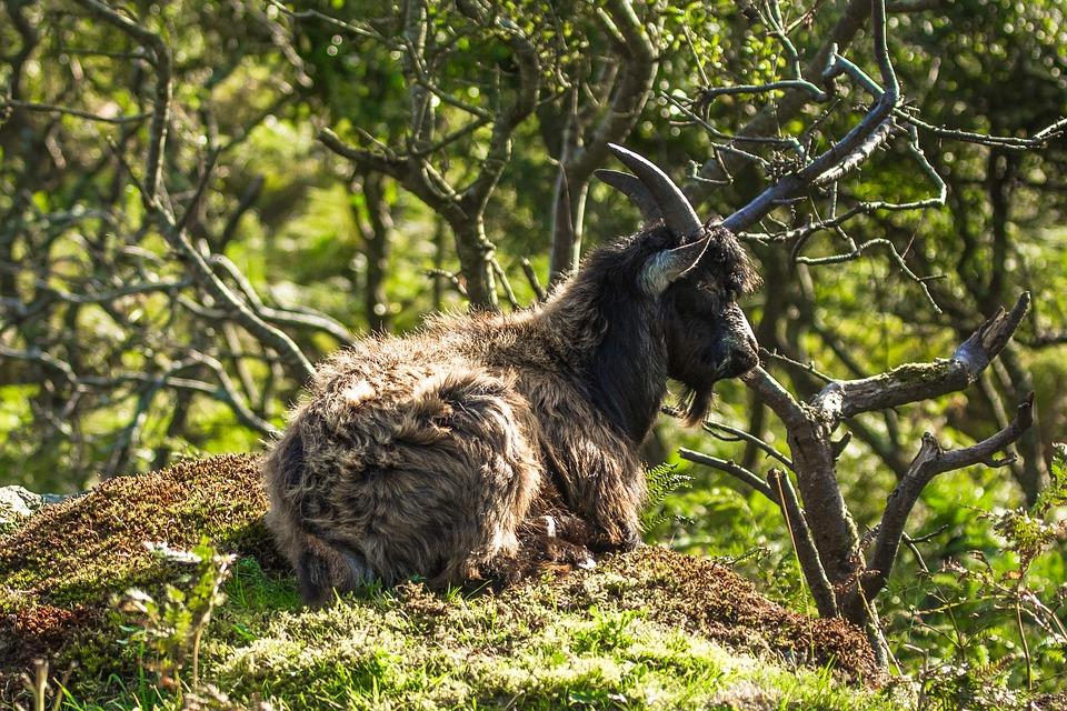 Wild Goat, Nature, Rest