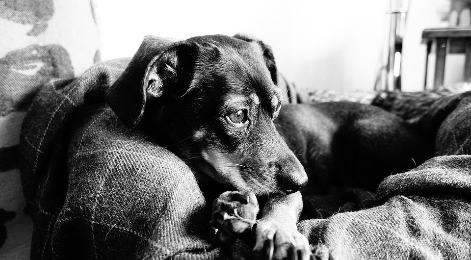Dog, Rest, Black White, Pet, A Friend