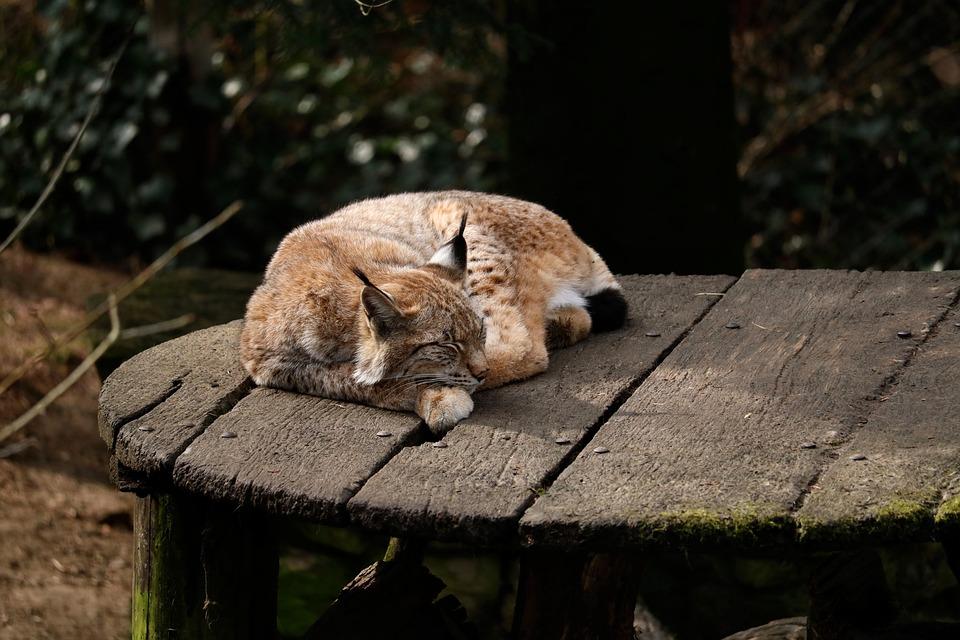 Nature, Animal World, Lynx, Wildcat, Sleep, Rest, Tired