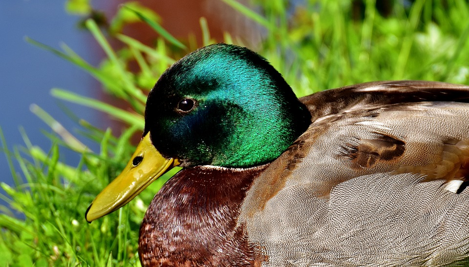 Duck, Mallard, Meadow, Rest, Drake, Water Bird