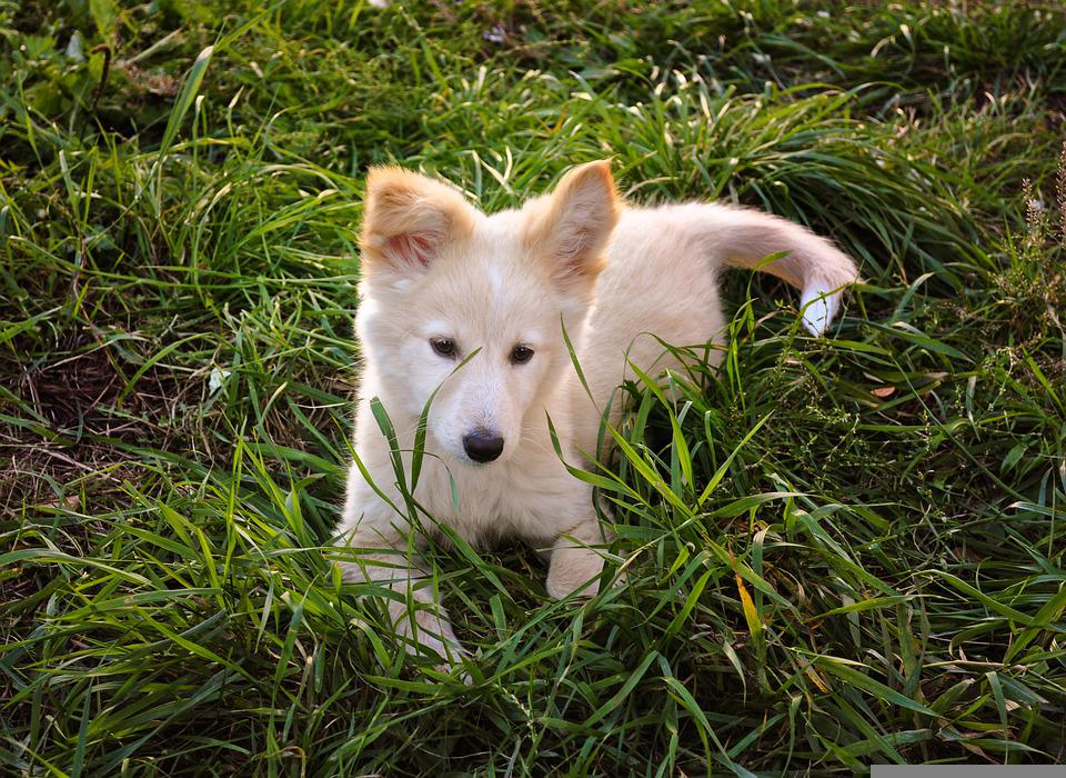 Dog, Puppy, Grass, Canine, Rest, Resting, Animal, Cute