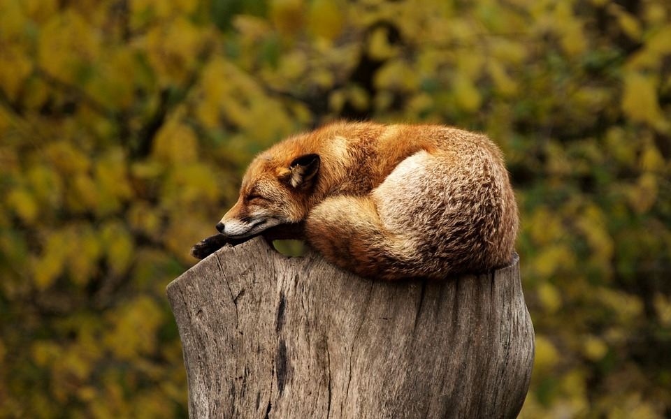 Fox, Sleeping, Resting, Relaxing, Red, Animal, Wild