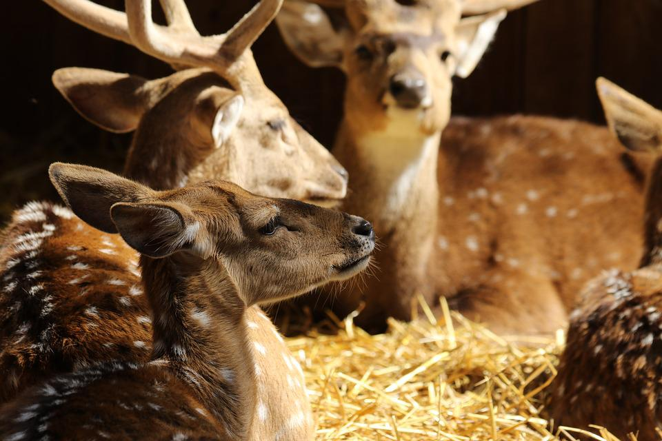 Animals, Deer, Spotted Deer, Antlers, Resting, Light