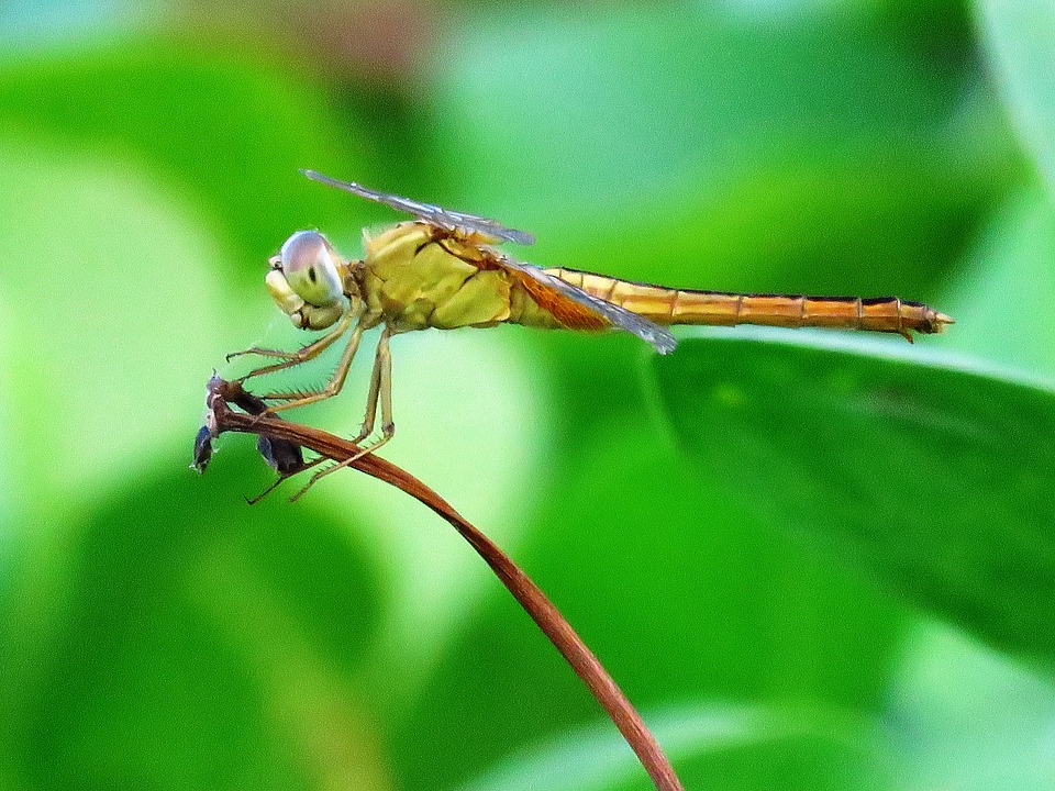 Dragonfly, Macro, Resting