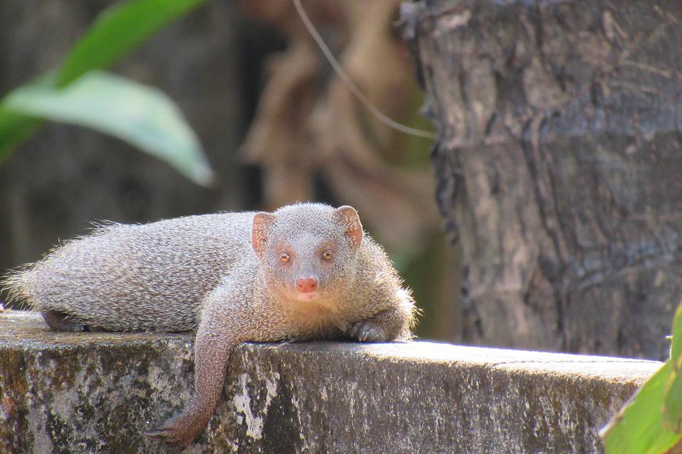 Mongoose, Resting, Indian