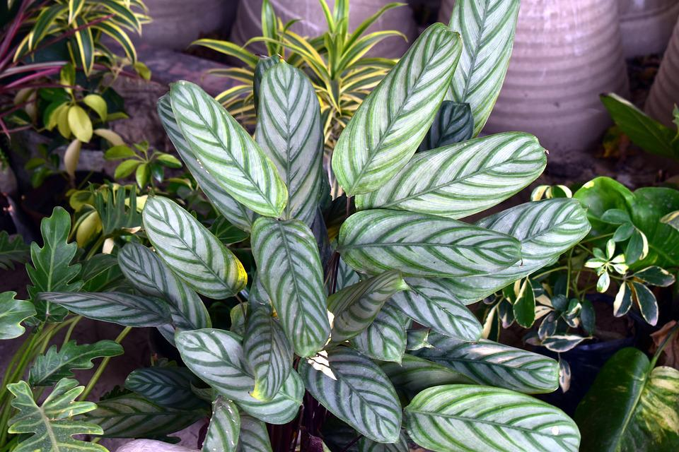 Green Leaves, Croton, Reticulate Venation