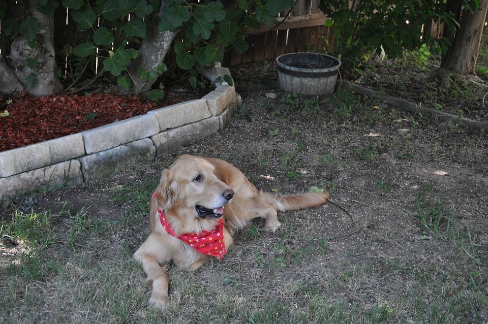 Dog, Golden, Retriever, Pup, Puppy, Pet, Canine