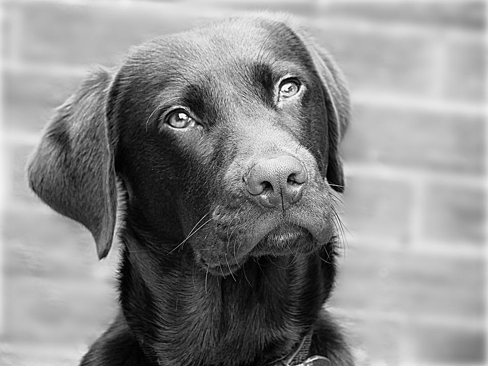 Labrador, Dog, Retriever, Head