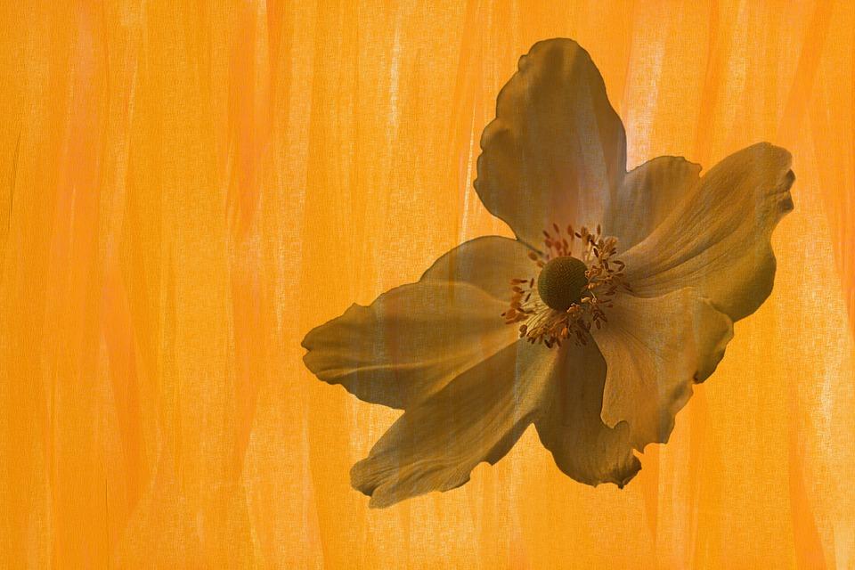 Vintage, Flower, Blossom, Bloom, Anemone, Retro