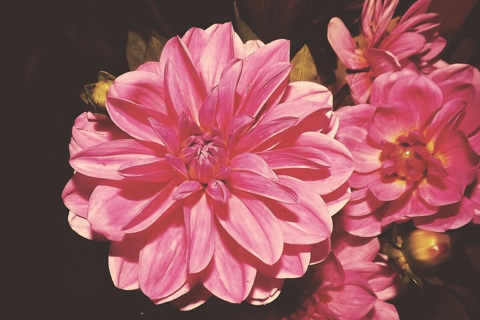 Vintage, Blossom, Bloom, Flowers, Dahlias, Retro